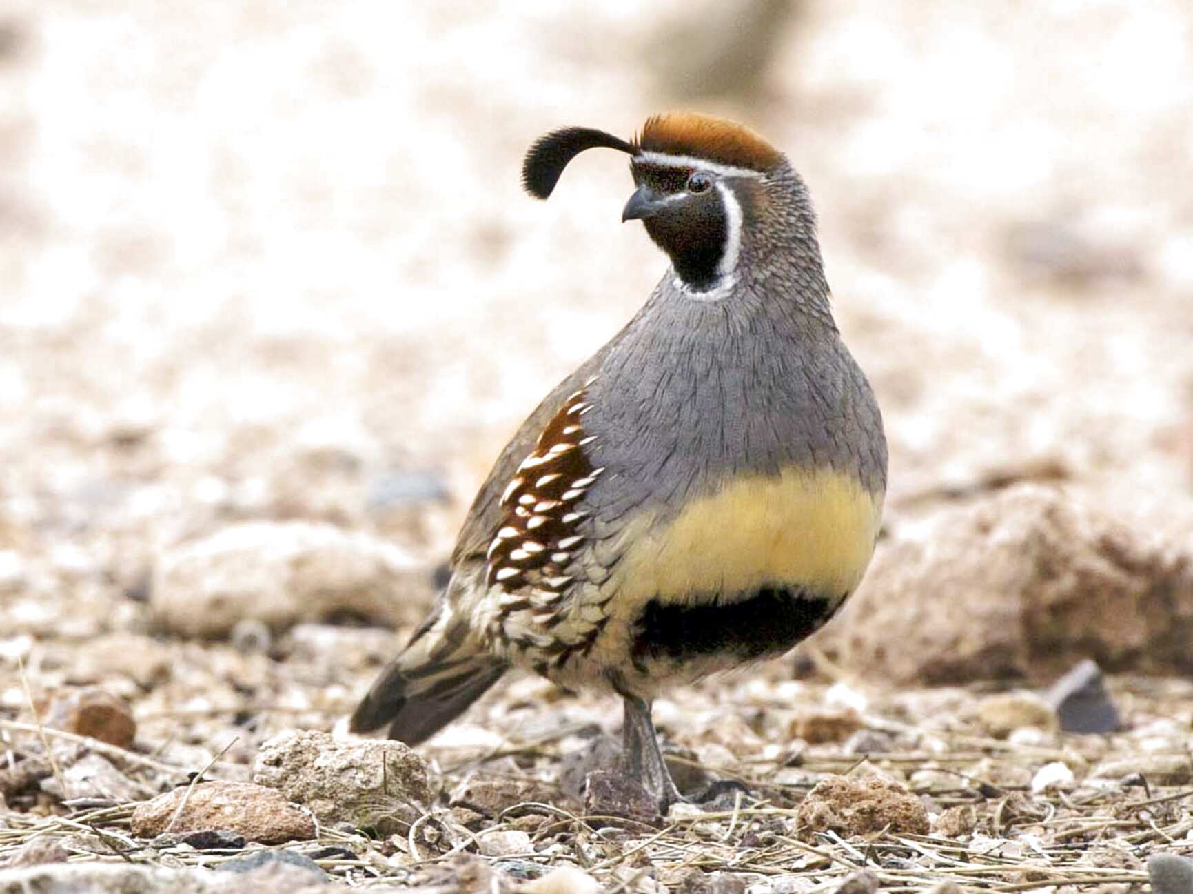 gambel quail for sale