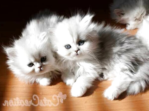 baby doll cats for sale