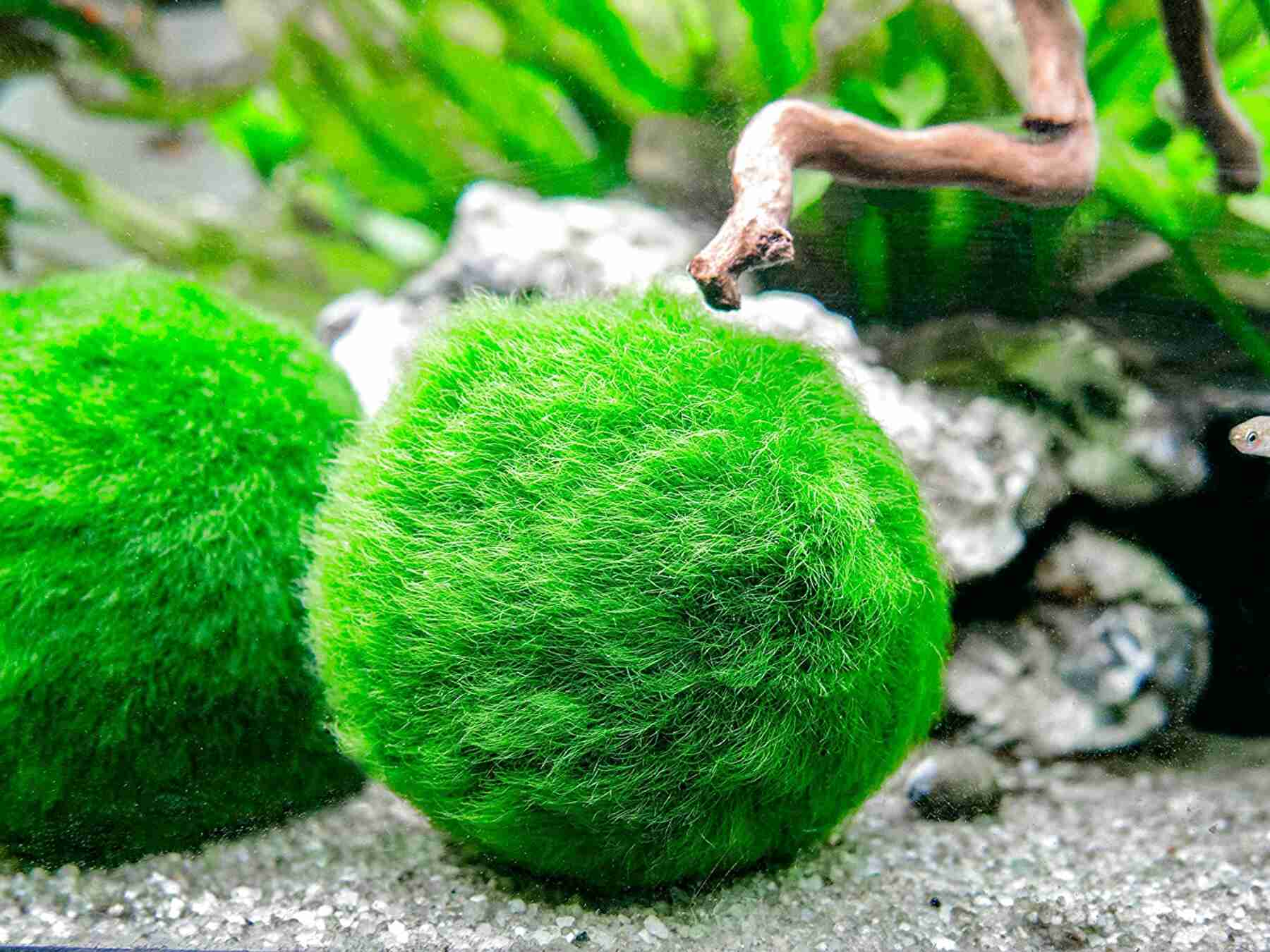 moss ball for sale