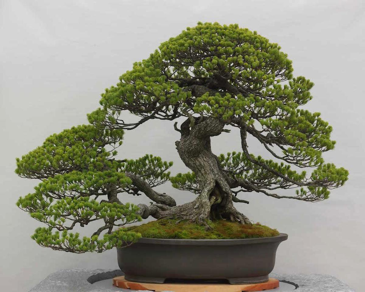 bonsai for sale