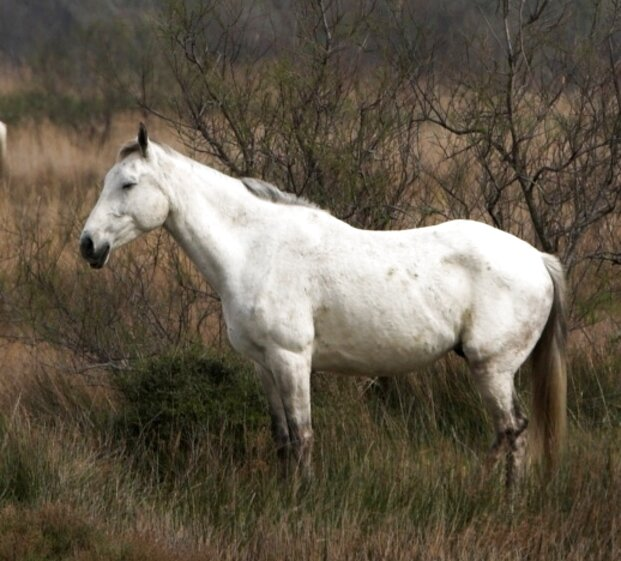 camargue horse for sale