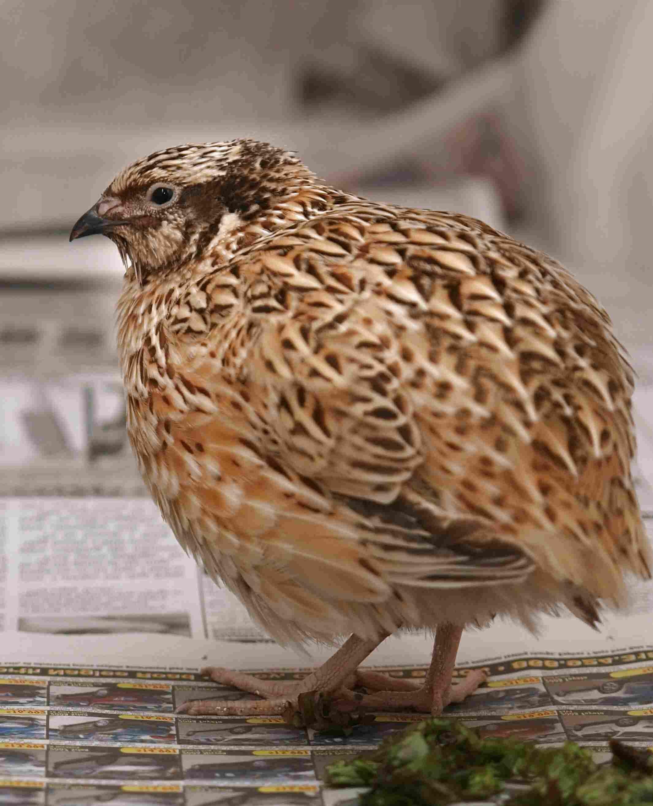 japanese quail for sale