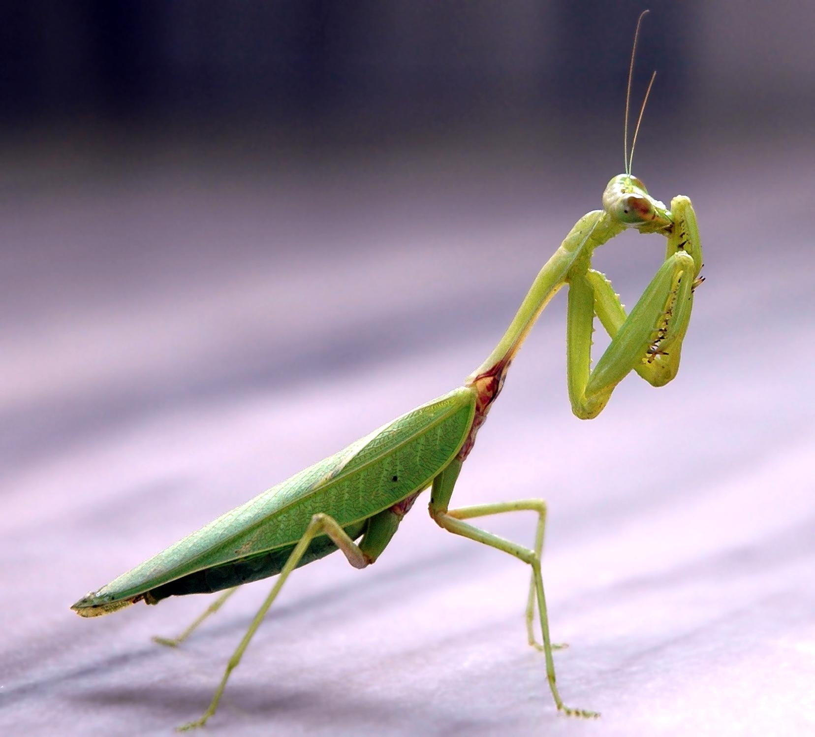 Praying Mantis For Sale Only 2 Left At 65
