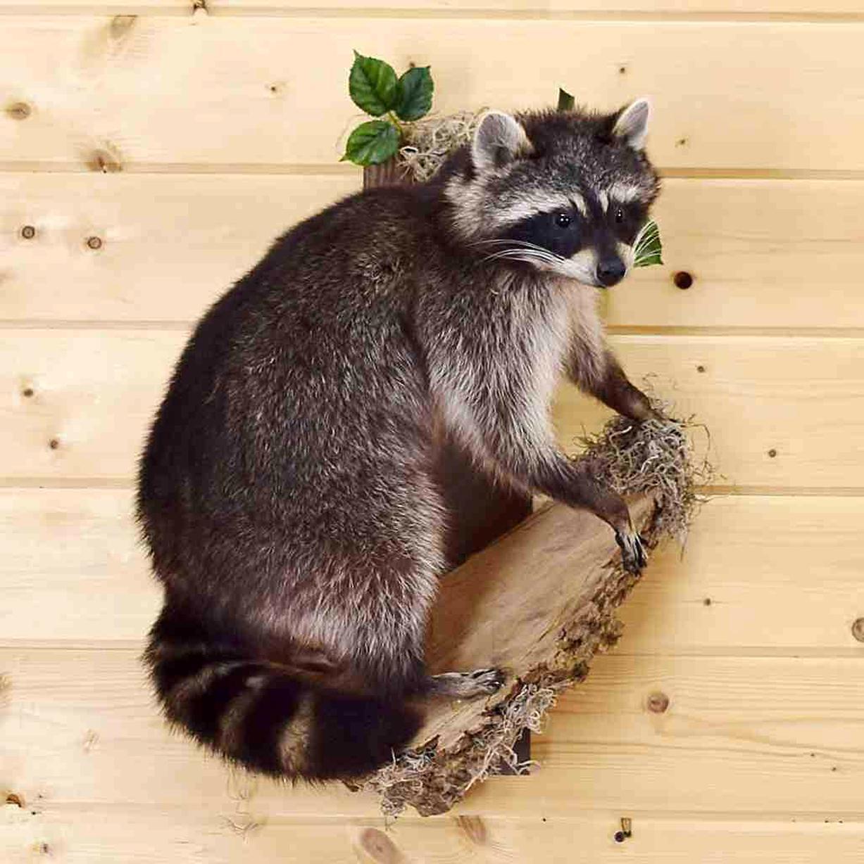 raccoon mounts for sale