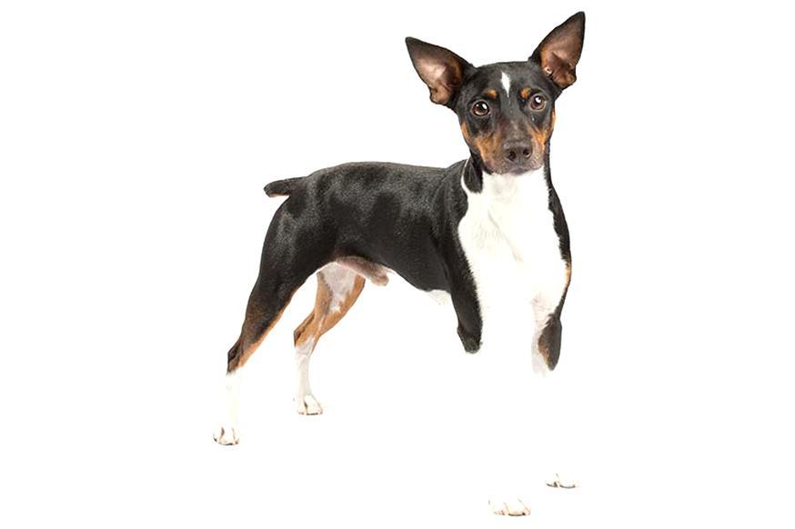 Adorable Rat Terrier 3D Dangle Charm on Pawprint Bail Clearance