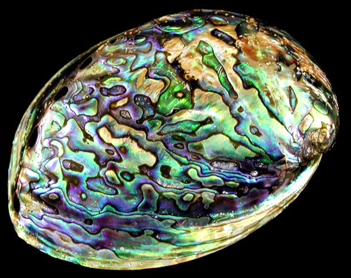 polished abalone for sale