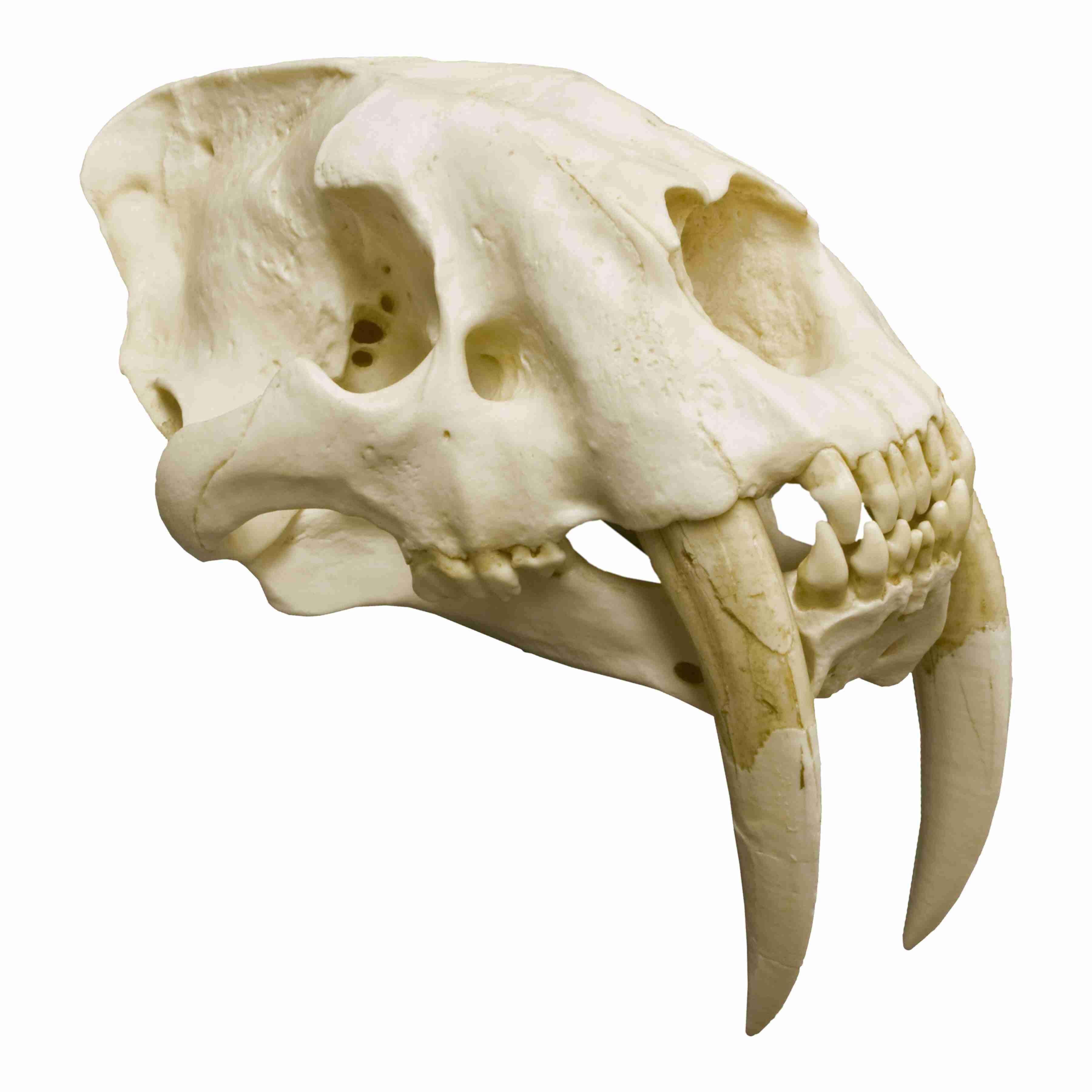 sabertooth skull for sale