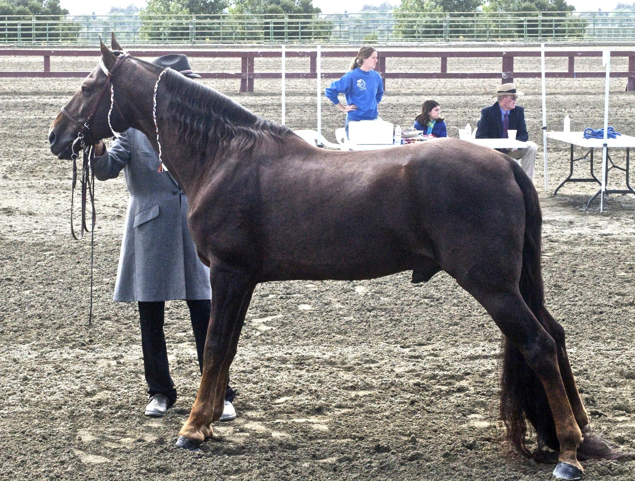 Tennessee Walking Horse for sale | Only 4 left at -60%