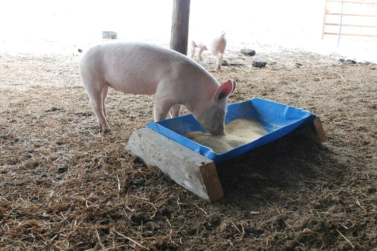 pig feed trough for sale