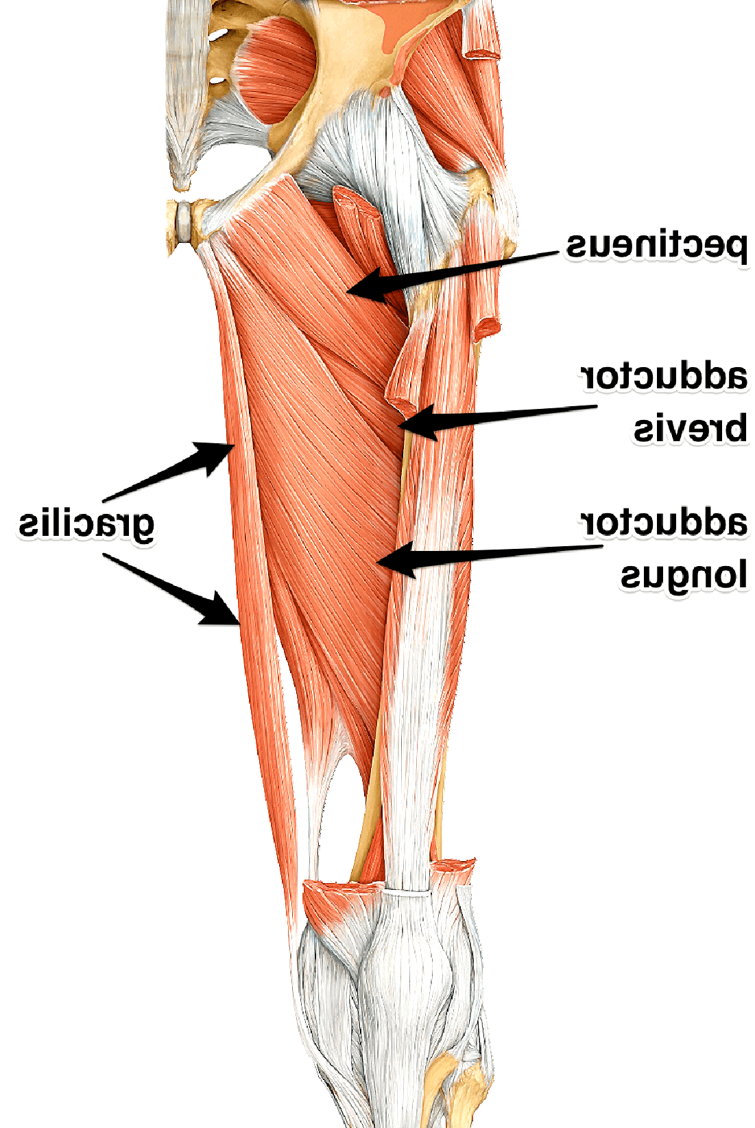 adductor for sale