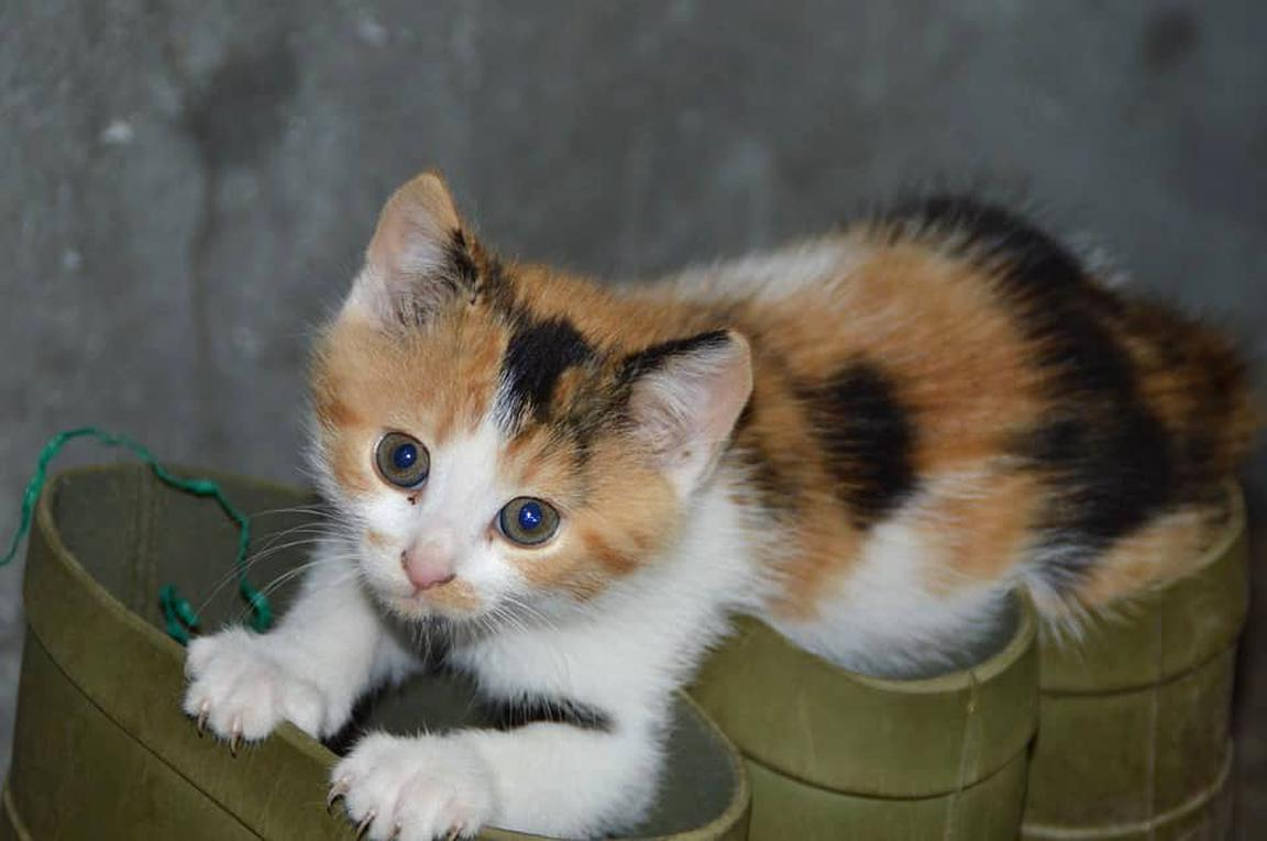CALICO KITTENS I/'M HOOKED ON YOU 129313