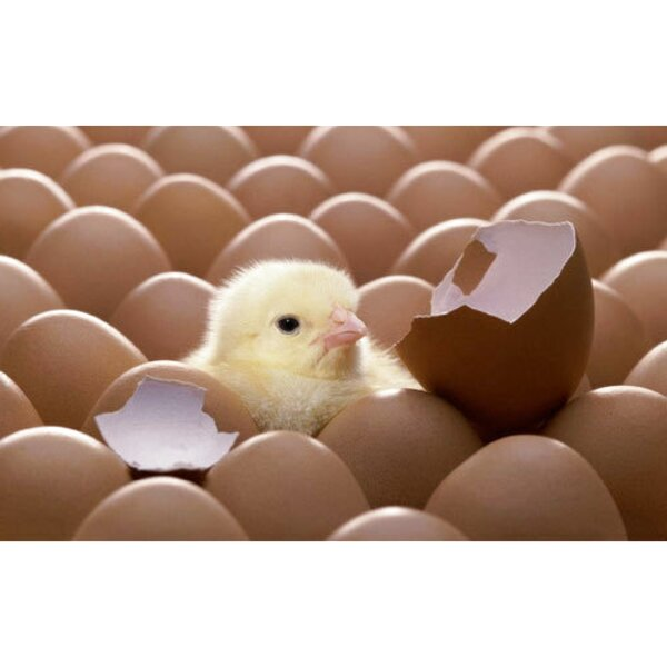 hatching chicken eggs for sale
