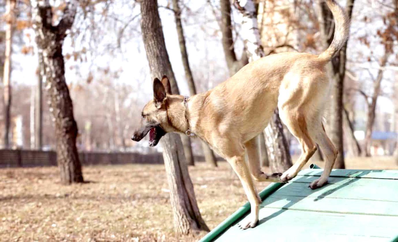 dog ramp for sale