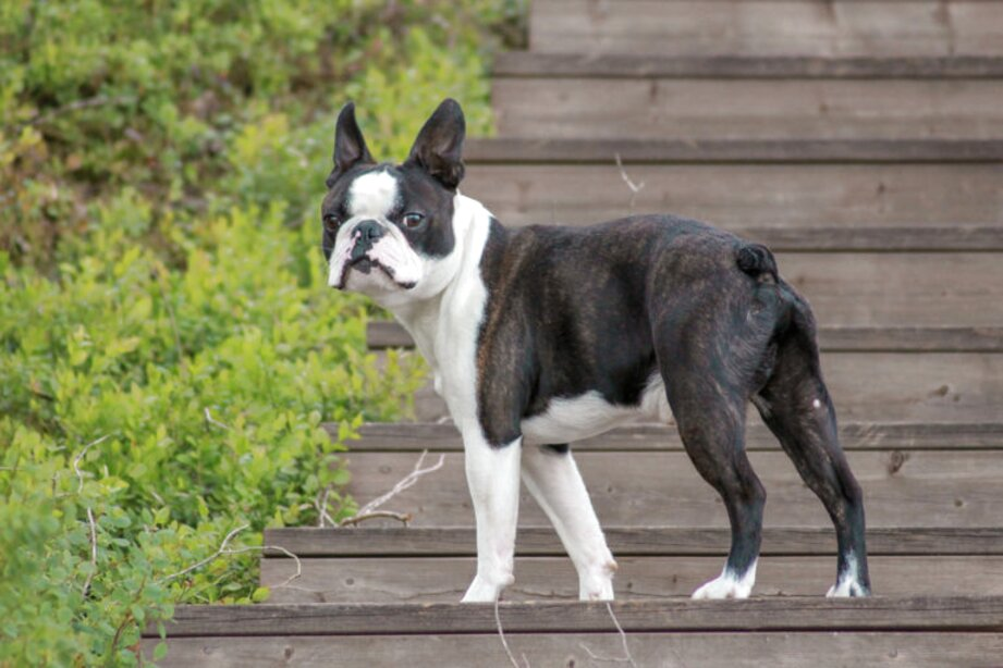 Boston Terrier For Sale Only 3 Left At 75
